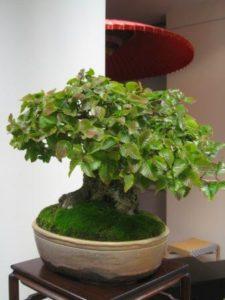 Sztuka pielęgnacji drzewek bonsai